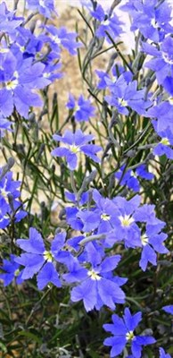 General - Blue wildflower