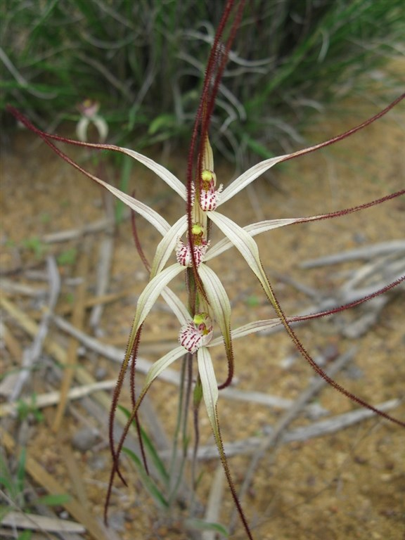 Spider orchid 2